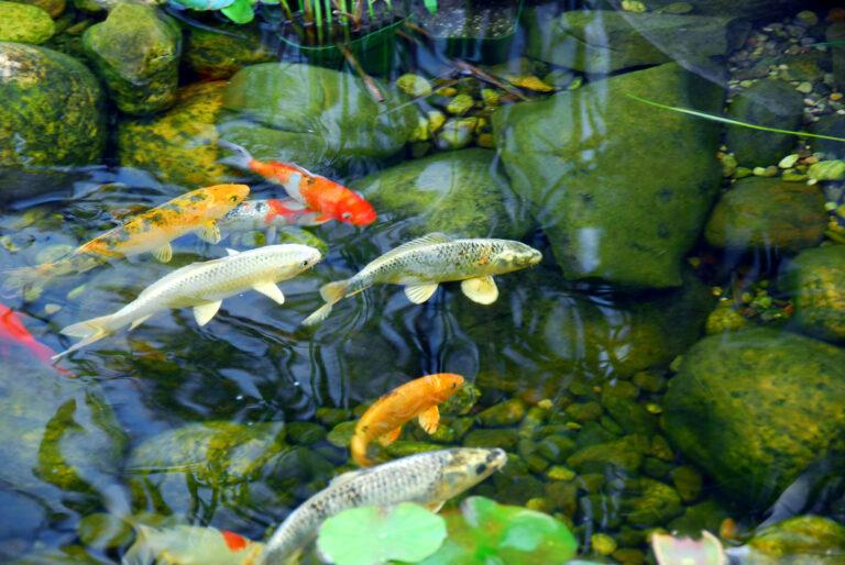 beliebte Teichfische