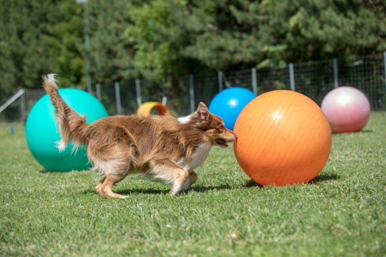 Border Collie spielt mit Treibball