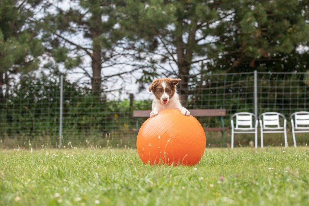 Hund mit Treibball