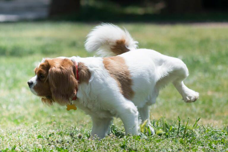 Ein Hund pinkelt auf den Rasen