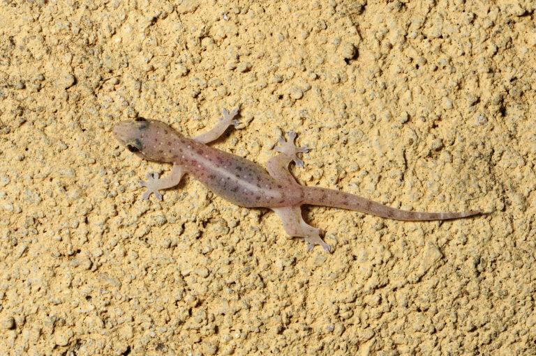 Asiatischer Hausgecko (Hemidactylus frenatus) - Common house gecko / Sri Lanka
