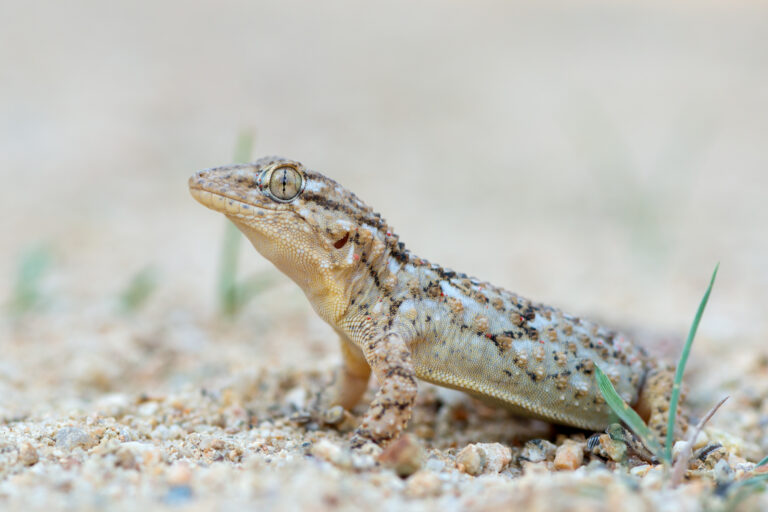mauergecko tarentola mauritanica