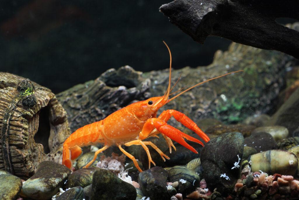rote edelkrebse im aquarium