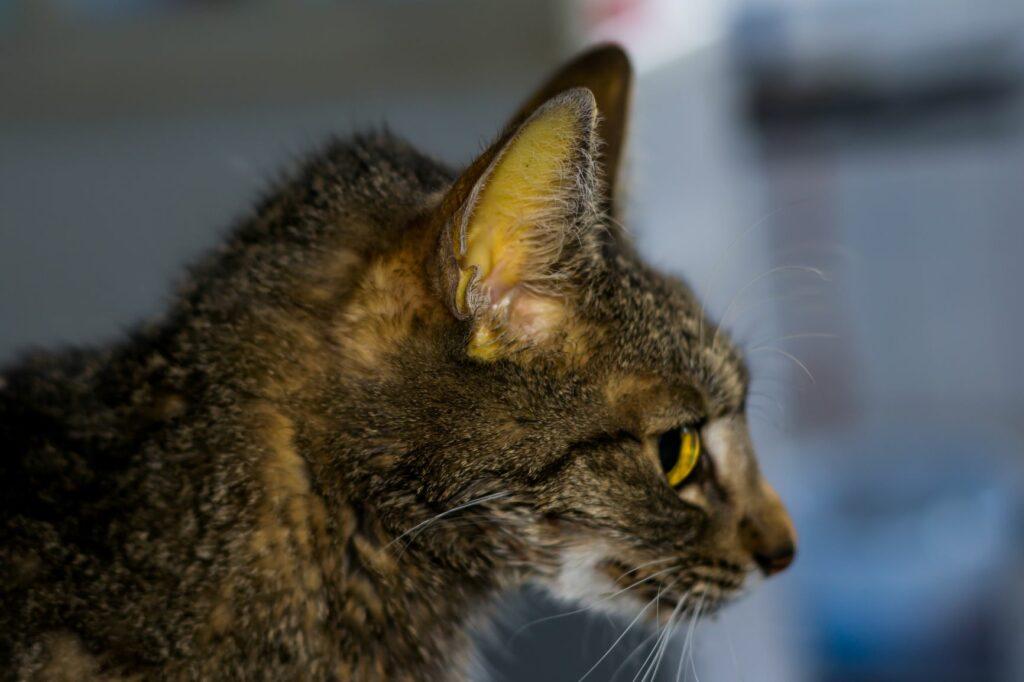 Katze mit Gelbsucht wegen FIP Erkrankung.