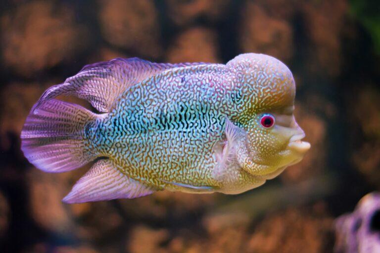 buntes flowerhorn cichlid