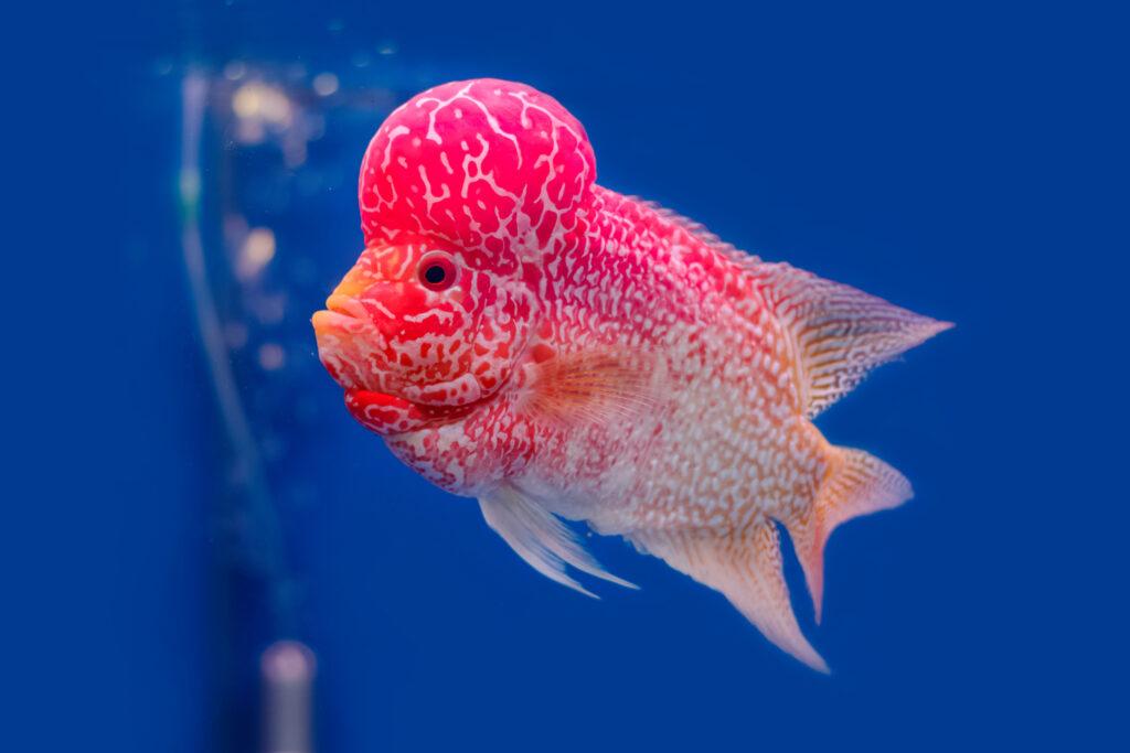 rosarot flowerhorn cichlid