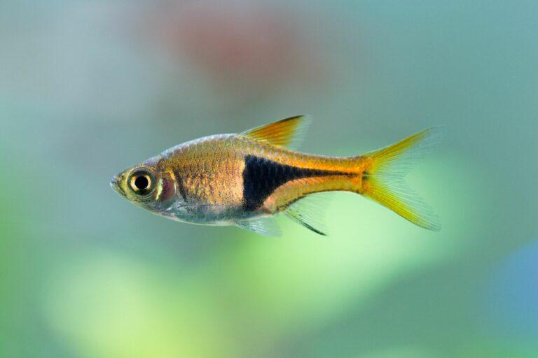 Keilfleckbärbling schwimmt im Wasser.