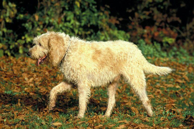 Hund Grand Griffon Vendeen im Garten
