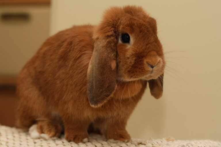 rote zwergwidder kaninchen