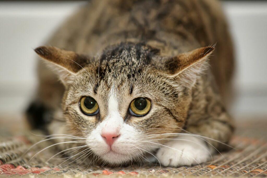 Eine Katze mit Schmerzen legt die Ohren an und wirkt ängstlich.
