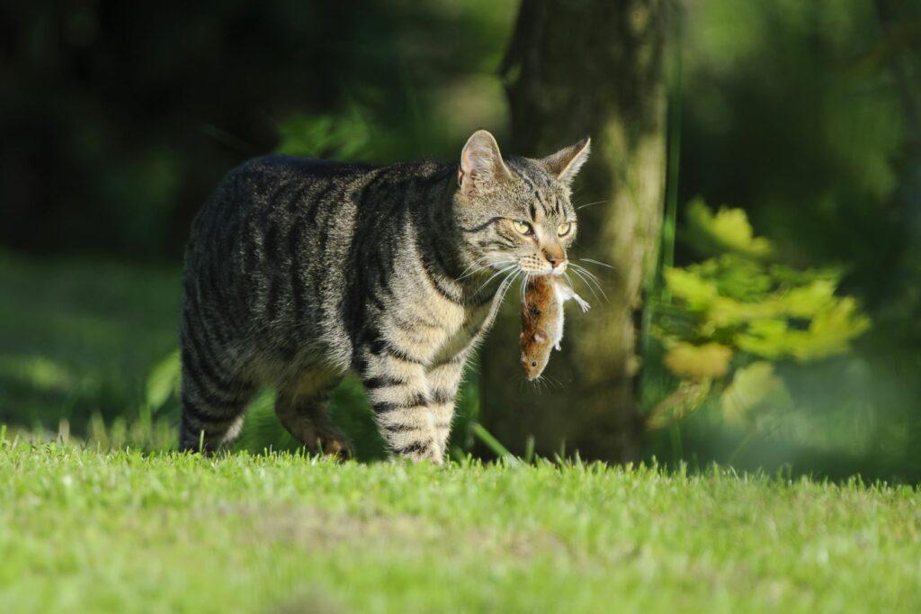 Katze mit einer Maus im Maul auf einer Wiese.