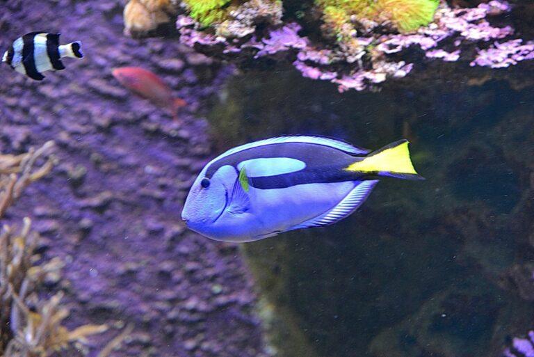 Ein bunter Paletten-Doktorfisch schwimmt im Meer.