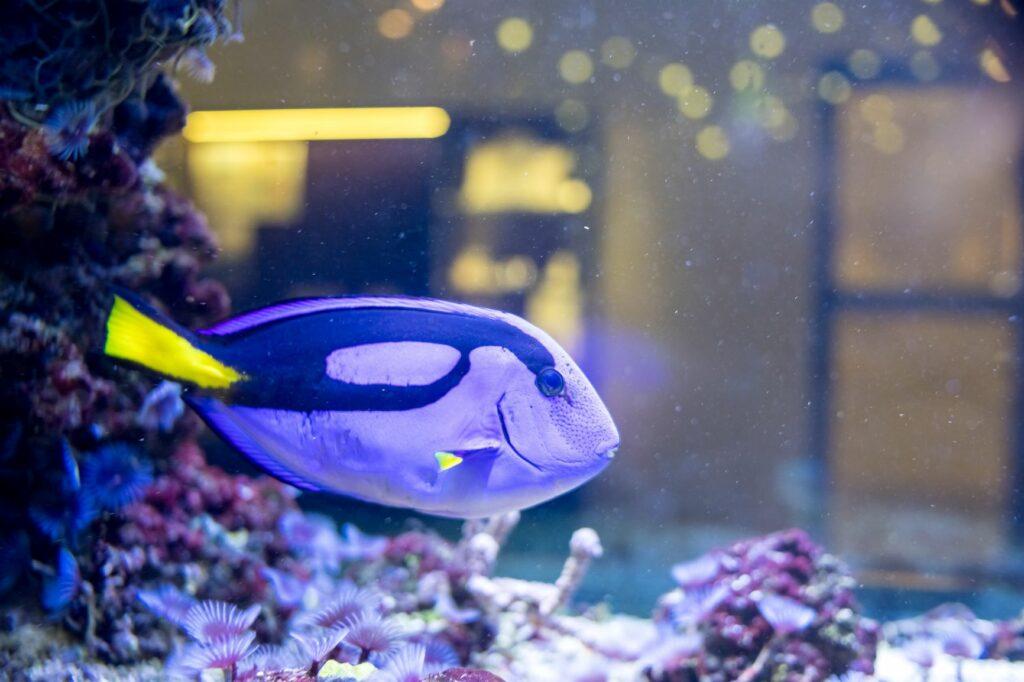 Ein blau-gelber Fisch schwimmt in einem Aquarium.