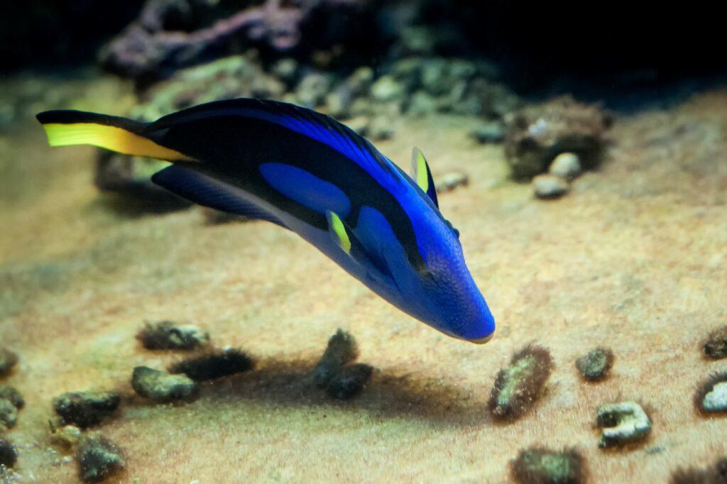 Ein bunter Fisch frisst etwas vom Meeresboden.