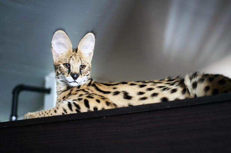 Die Savannah Katze, die zu den teuersten Katzenrassen zählt, liegt auf einem Regal