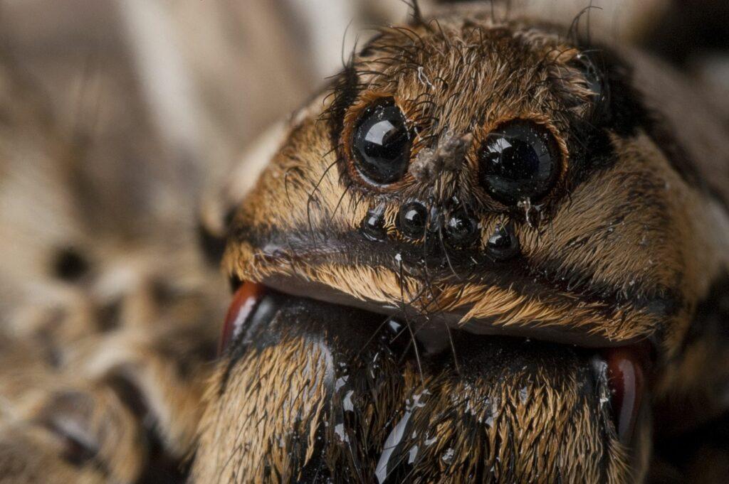 Augen einer Apulischen Tarantel in Nahaufnahme