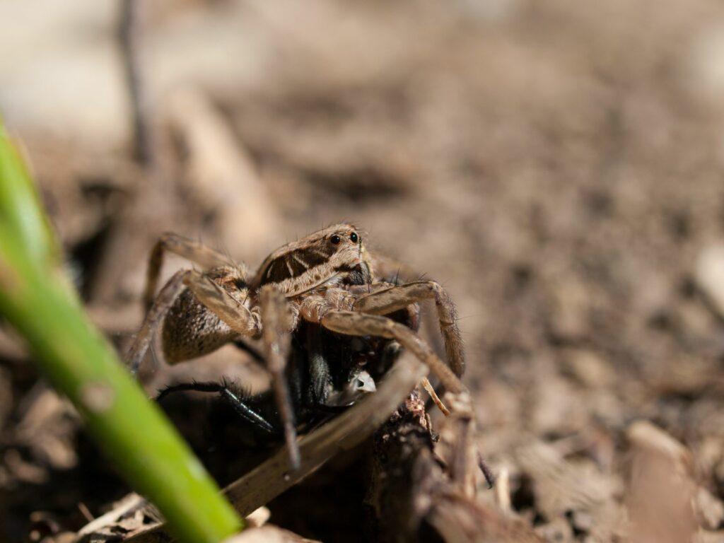 Apulische Tarantel mit einem erbeuteten Insekt.