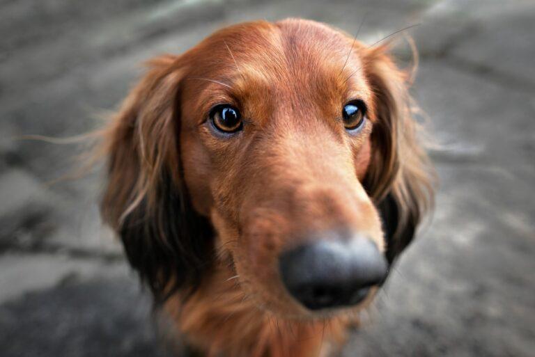 Ein Dackel mit dunklen Augen blickt in die Kamera