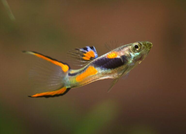 Ein Endler Guppy Männchen mit orangeroter Färbung