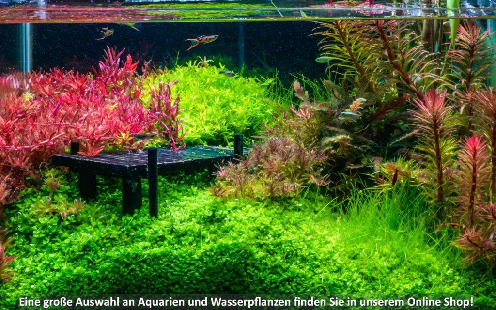 Ein Aquarium mit bunten Wasserpflanzen und Endler Guppys