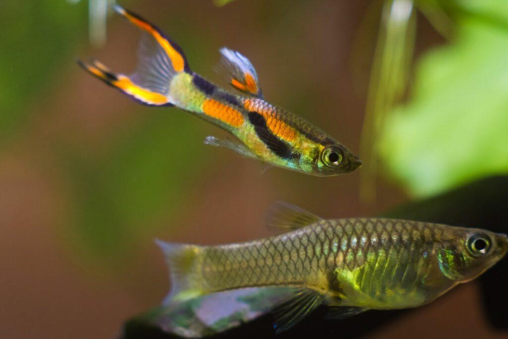 Ein Endler Guppy Männchen führt einen Balztanz vor einem Weibchen auf