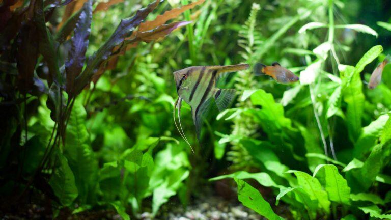 Ein mit Javafarn grün bepflanztes Aquarium
