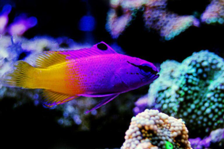 Ein Königsfeenbarsch schwimmt im Aquarium
