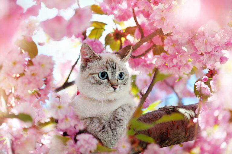 Eine Katze sitzt auf einem blühenden Kirschbaum.