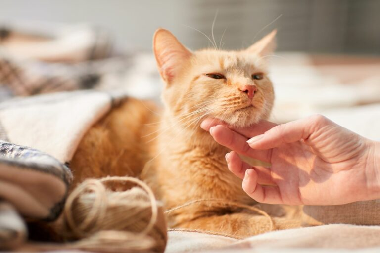 Eine Katze wird von einer Hand gekrault.