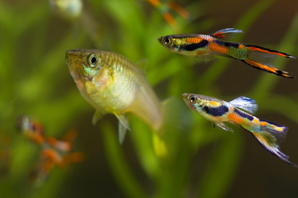 Männliche Guppys in verschiedenen Farben schwimmen um ein Weibchen.