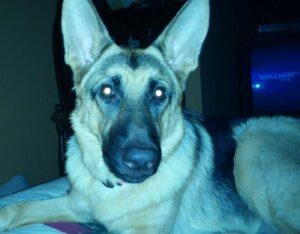 Ein Schäferhund im Dunklen mit leuchtenden Augen