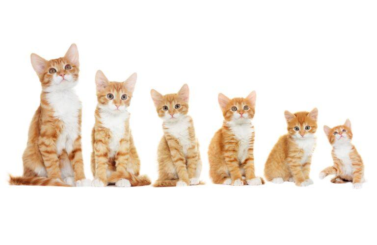 Sechs Kitten symbolisieren das Wachstum von Katzen.