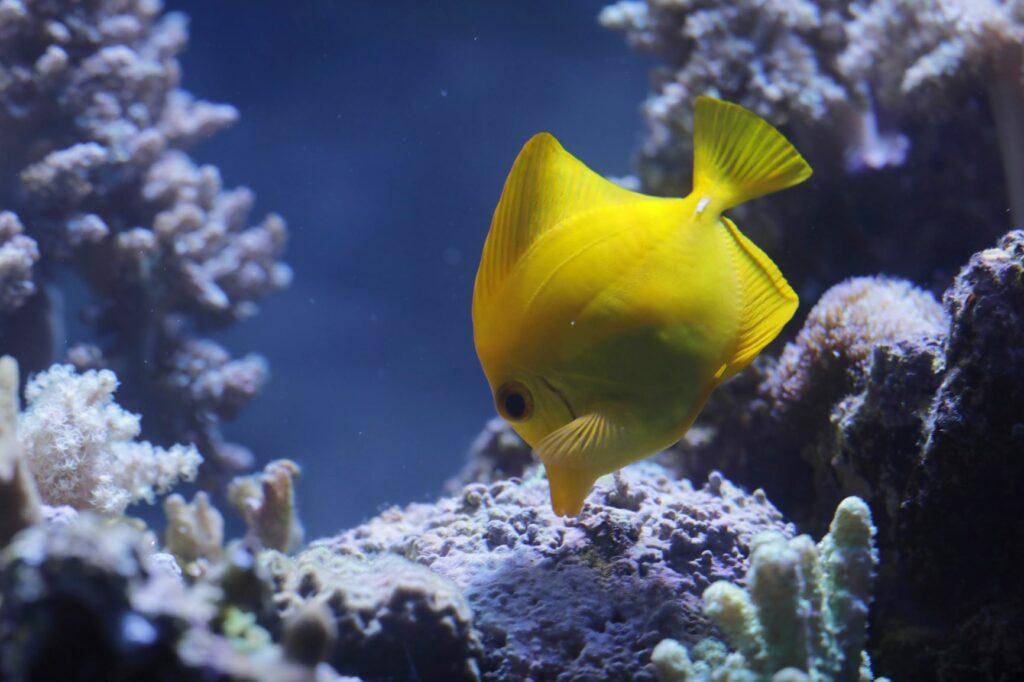Gelber Fisch im Aquarium auf Futtersuche.