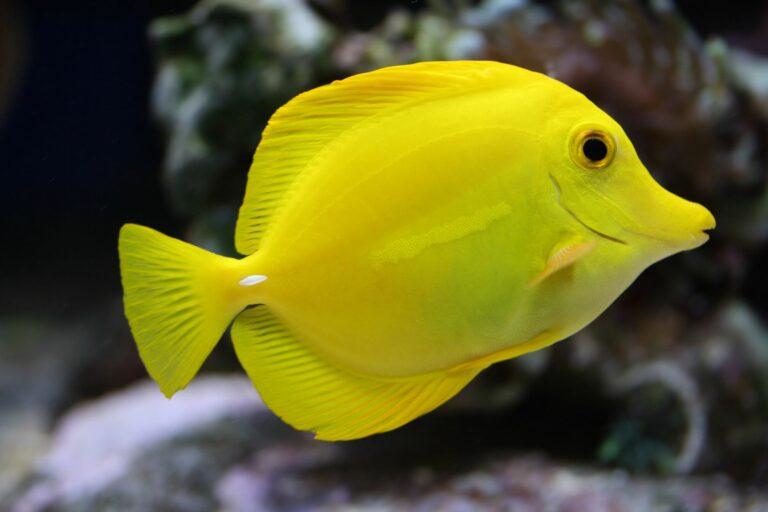 Leuchtender gelber Fisch im Wasser.