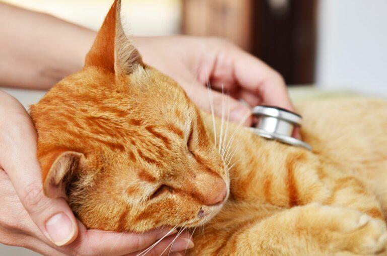Darmverschluss-bei-Katze-