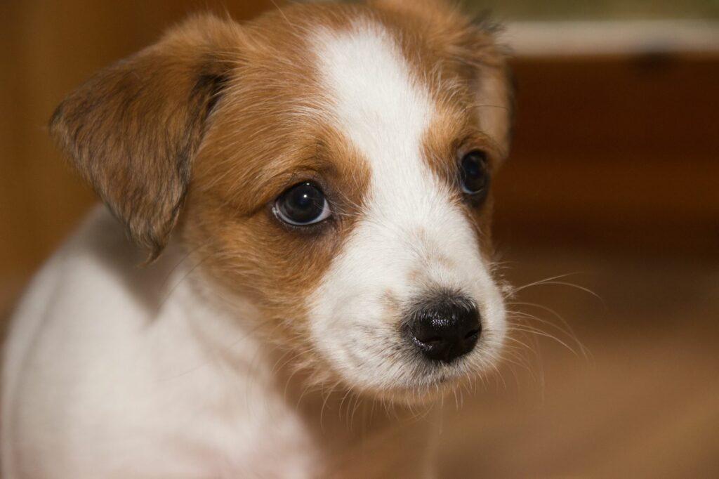 braun-weißer Hundewelpe