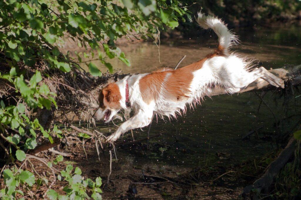 Weiß-brauner Hund springt über einen Graben.