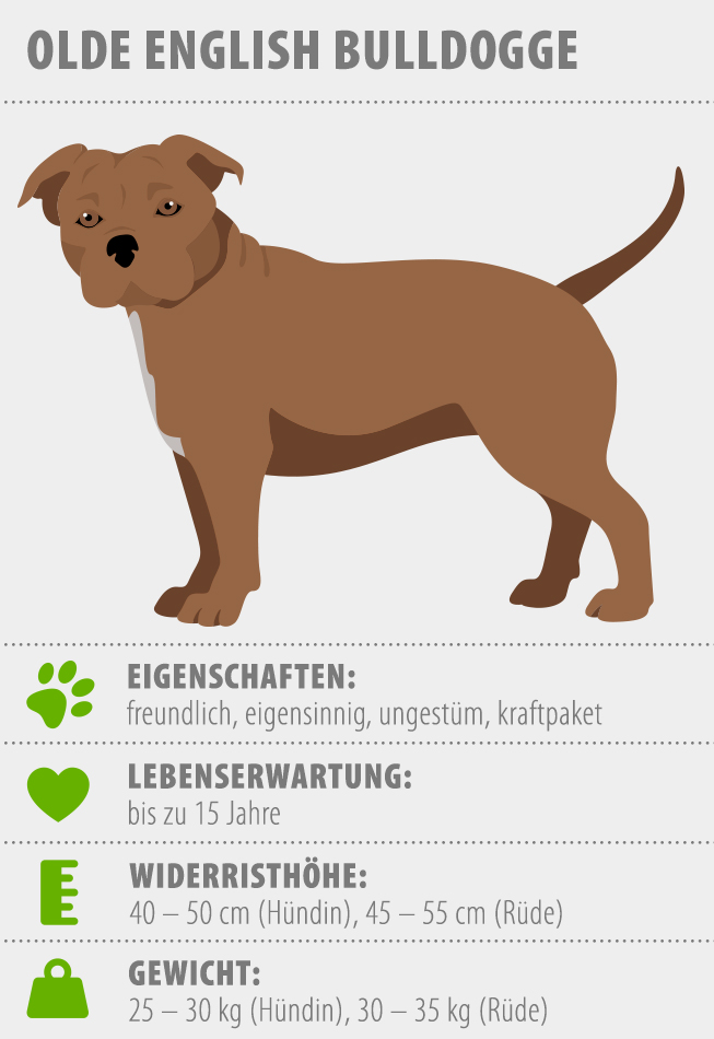 Merkmale Olde English Bulldog Hund