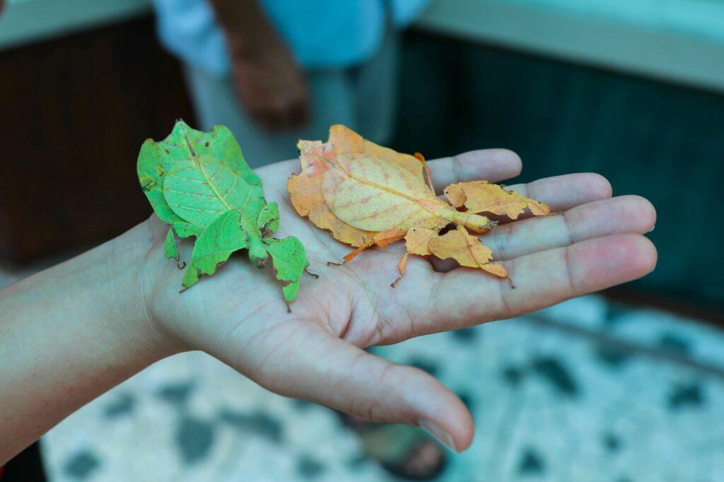 EIn grünes und ein braunes Wandelndes Blatt.