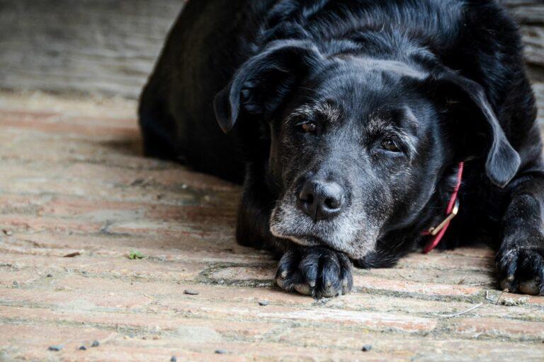 Ein altersschwacher Hund liegt auf einem Holzboden