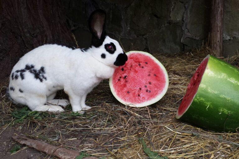 Riesenkaninchen der Rasse Deutscher Riesenschecken mit Wassermelone