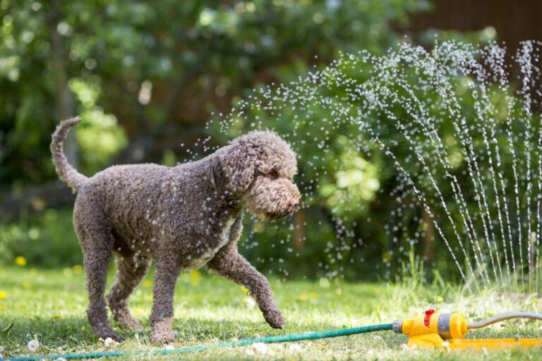 Abkühlung für Hunde mit dem Rasensprenger