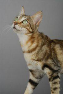 Eine junge Sokoke Katze