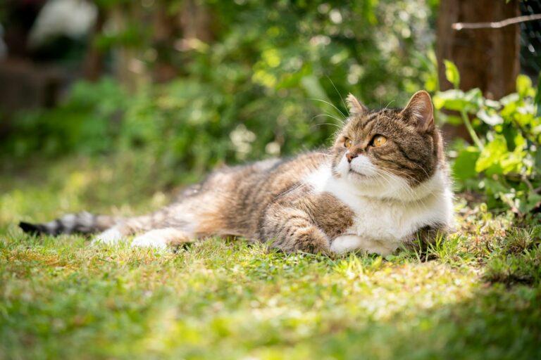 Eine Katze liegt auf einer Wiese im Schatten
