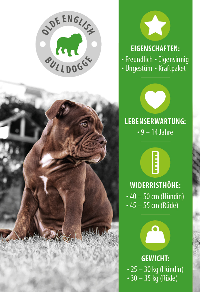 Infografik Olde English Bulldogge