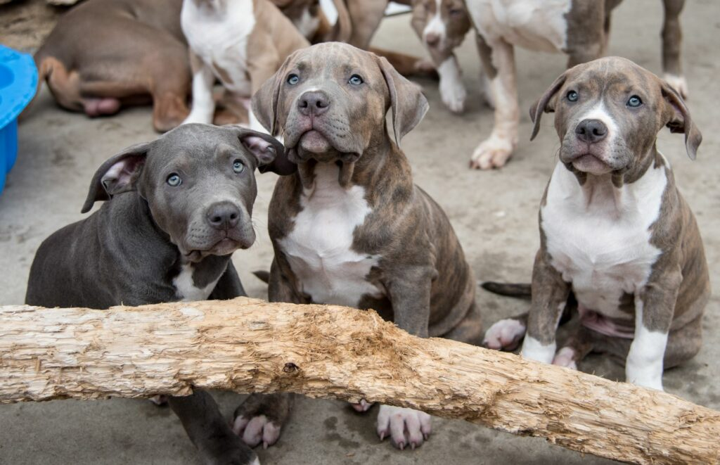American Bully Aussehen Charakter Haltung Zooplus