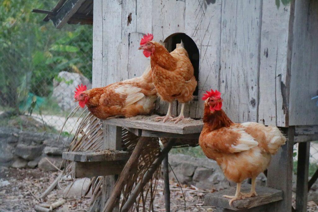 Hühner halten im Stall.