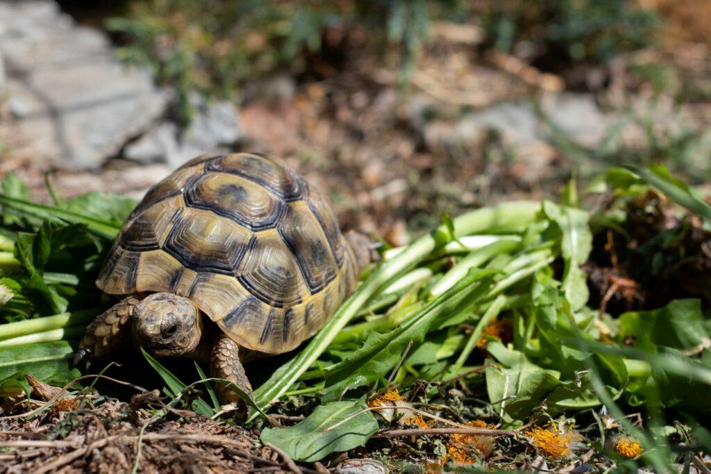 Griechische Landschildkröte frisst