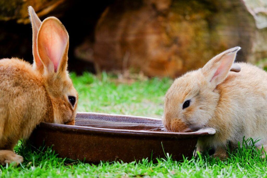 Zwei Kaninchen trinken