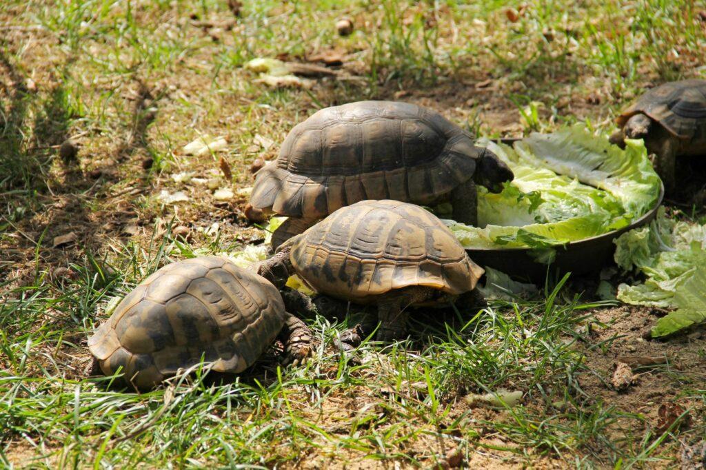 Vier Griechischen Landschildkröten